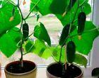 Seeds Indoor Cucumber F1 Self-Pollinated Giant Planting Pickling Organic Ukraine