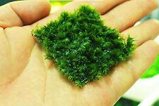 5x5cm LIVE AQUARIUM PLANT Fissidens fontanus Tropical Tank Gamberetti Phoenix Moss