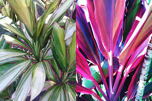 10x Organic Cordyline plant log cuttings, 5x RED WING +5x KIWI, free instruction