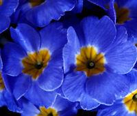 PRIMROSE ENGLISH ACCORD BLUE Primula Vulgaris - 50 Bulk Seeds