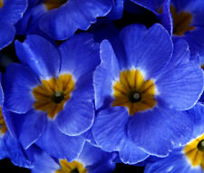 PRIMROSE ENGLISH ACCORD BLUE Primula Vulgaris - 50 Bulk Seeds