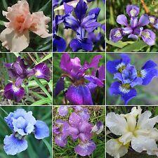 Iris sibirica • 200 Samen/seeds • Mix • Sibirische Schwertlilie • Wieseniris