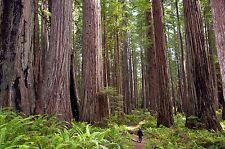 100 Coast Redwood Tree Seeds Sequoia sempervirens Bonsai USA - BKSeeds
