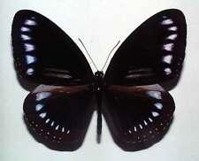 EUPLOEA SYLVESTER SCHLEGELII - unmounted butterfly
