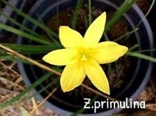 *UNCLE CHAN* 5 SEED Fairy Lily, Rain Lily Z. Primulina Yellow flower cute C314