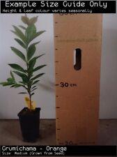 Grumichama - Orange (Eugenia  brasiliensis) Fruit Tree Plant