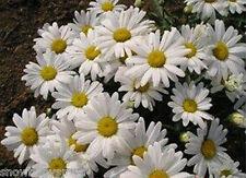 2000 Shasta Daisy Seeds Leucanthemum Maximum White Chrysanthemum Flower Heirloom