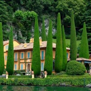 Cypress Tree Seeds 50pcs Evergreen Giant Ornamental Plant