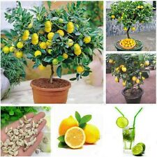 20 Dwarf Lemon Tree Seeds Natural Perfume Indoor DIY Home Garden