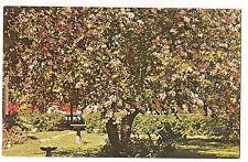 ORCHID TREE in FULL BLOOM Rio Grande Valley of  TEXAS  TX Postcard KOPPEL