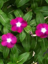 100 Pink Dwarf Rose Periwinkle / Vinca Rosea Flower Seeds + Gift & Comb S/H