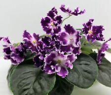 African Violet AE Zvezdopad baby plug plant
