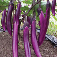 200purple long eggplant organic vegetable seed for home garden rich in vitaminTB