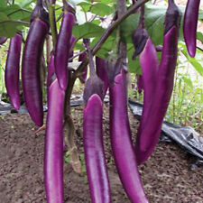 200purple long eggplant organic vegetable seed for home garden rich in vitaminSP