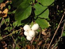 Weißer Schneeball Symphoricarpos Duhamel Sämlinge