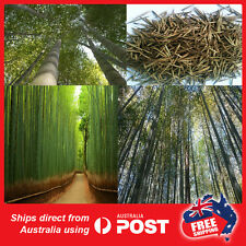 200 MOSO BAMBOO SEEDS (Phyllostachys pubescens) 200 seeds Plant