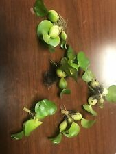50 Baby Live Water Hyacinth Floating Pond Plants Koi Lettuce Lilly Bog