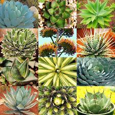 100 semi di agave mix , piante succulente, piante grasse,seed succulents