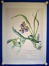 ORCHIDEEN - sehr schöne grosse kolorierte Lithographie ca. 1850!