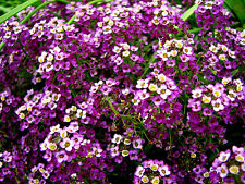 Alyssum Royal Carpet Seed Dainty Groundcover Purple Flower (Lobularia maritima)