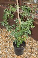 H1a (> 15 ° C) Hardiness Vines & Climbing Plants