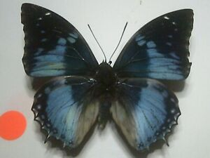 Real Insect/Butterfly/Moth Set Spread B7662 Rare Large Blue Charaxes smaragdalis
