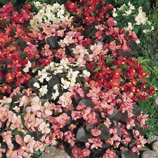 Begonia - Sunshine Carpet - 750 Seeds