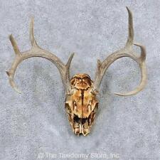 #13887 N | Whitetail Deer Skull & Antlers European Taxidermy Mount