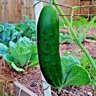 40+BEIT ALPHA CUCUMBER Seeds Organic Non-Gmo Self Pollinating Greenhouse Garden