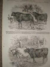 Royal Agricultural Society at Northampton prize animals 1847 prints ref AW