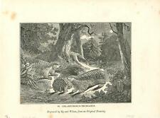 alte Grafik Druck Stich, Gürteltier, von 1835 #E796