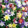 30+  AQUILEGIA STAR MIX, COLUMBINE /  PERENNIAL / DEER RESISTANT FLOWER SEEDS