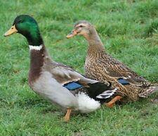 12+ Rouen Duck Hatching Eggs-Ship Now-Free Range-Fertility Guaranteed!