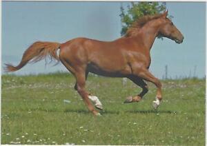 Horse Postcard - Warmblood - Lanet