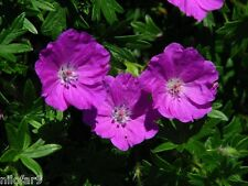 Hardy Geranium SANGUINEUM MAX FREI 30 Seeds 30 Zaden 30 Graines