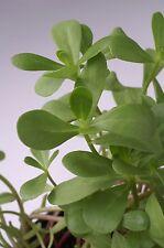 Salad - Purslane - Green - 2500 Seeds - Economy
