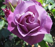 """Blue """"For You"""" rose  - 5 semi/green stem cuttings- rare and limited"""
