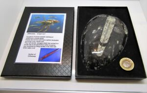 Real extra large orthoceras fossil in display box with information card fab gift