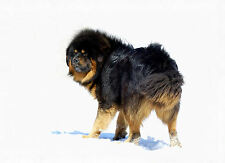 Framed Print - Huge Tibetan Mastiff Dog Walking in the Snow (Picture Poster Art)
