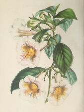 van Houtte: Garden Flowers Colored Print Gesneria Achimenes from Mexico - 1848