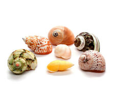 """7 Xl Assorted Turbo Hermit Crab Shells 1""""-2.5"""" (opening 5/8""""-1"""") Free Shipping"""