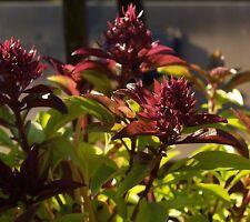 100 Samen Thai Basilikum – dekorative Heil- und Gewürzpflanze