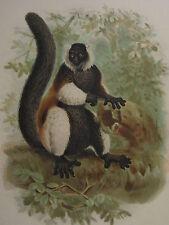 c1880 PRINT KEULEMANS MADAGASCAR ~ LEMUR VARIUS VARIOUS SHADES