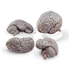Anatomical Budget Brain Replica Model