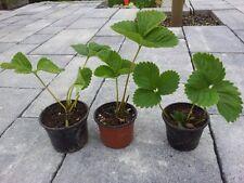 bunte Mischung! 20 St. Erdbeerpflanzen im Topf Erdbeeren verschiedene Sorten