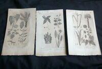 Gravures botanique: riz cultivé, roucouyer à teinture, salspareille de Virginie