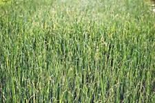 ALFALFA SPROUTS,HEIRLOOM,ORGANIC, NON-GMO, 1000 ALFALFA SPROUT SEEDS