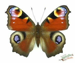 Peacock Real Butterfly Aglias (inachis) io England SET x1 A1- British Butterfly