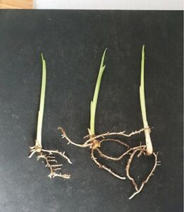Turmeric 3 Live Rooted  Fresh Plants Direct From Nursery  Ready to Grow