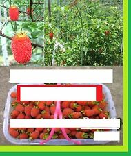 25 x Gigantesco Frambuesas Semillas Simiente Jardín Planta Rareza Fruta dad